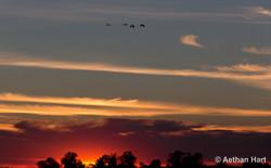 Crex Cranes