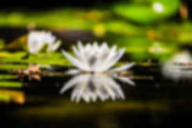 lotus michele-guan-353750-unsplash.jpg