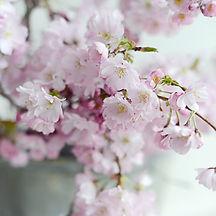 Prunas Cherry Blossom