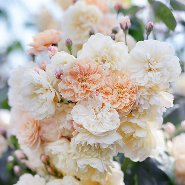 Rose clusters
