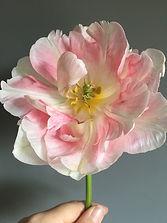Finola Tulip