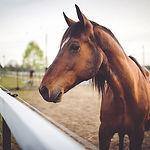 Zwierząt brązowy koń