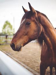 Animal brun hest