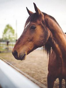 caballo marrón Animal