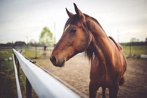 Animal brun häst