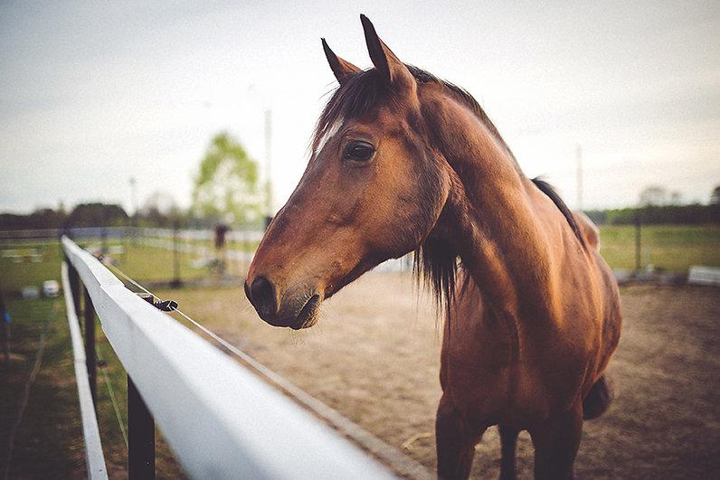 Tier braunes Pferd