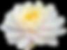 NewMasterLotus_edited_edited_edited.png