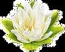 Lotus_edited_edited_edited.png