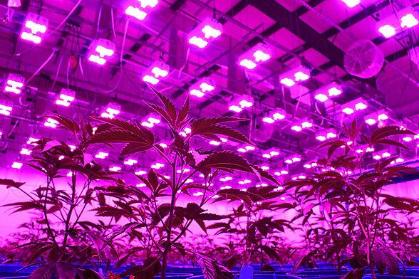 cbd grow room.jpg