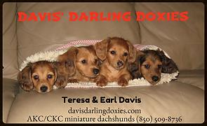 dachshund puppies,duchshund for sale,dachshund puppies,duchshund, doxie puppies,dachounds,doxies,dachshund puppies,davis darling doxies