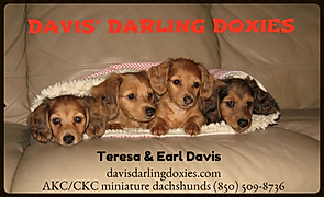 dachshund puppies,duchshund for sale,dachshund puppies,duchshund, doxie puppies,dachounds,doxies,dachshund puppies,davis darling doxies