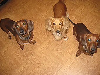 dachshund puppies for sale north florida,davis darling doxies