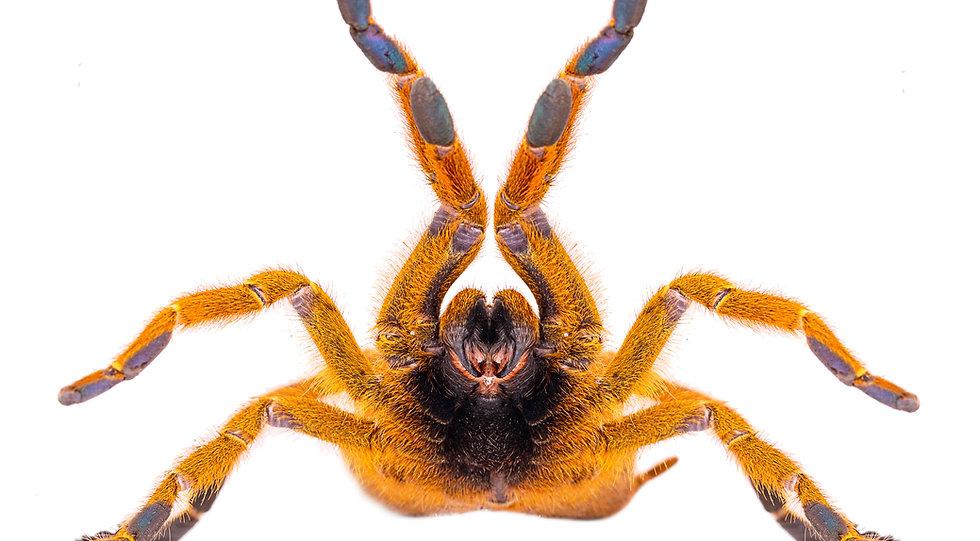 Pterinochilus murinus tarantula venomous