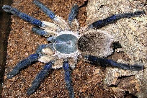 Monoceopus balfouri-Socotra island blue