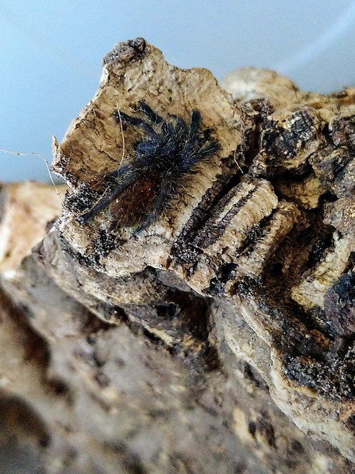 Pterinochilus murinus USAMBARA-OBT Orange bitey thing