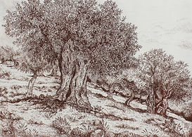 Olivier, dessin à la sanguine de Pascaline Bossu,Thassos Grèce