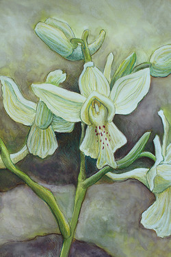 Orchis-blanc