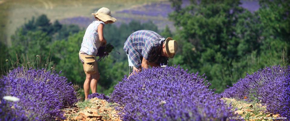 Lavendel der Provence