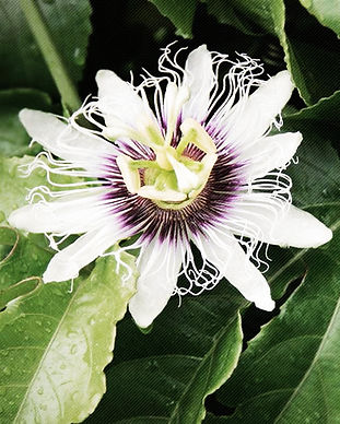 Passion Flower 1 A.jpg