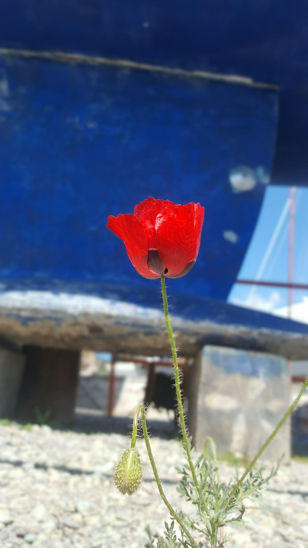 Beautiful solitary poppy