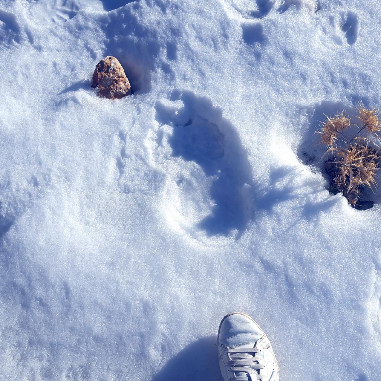 Brown bear footprints!