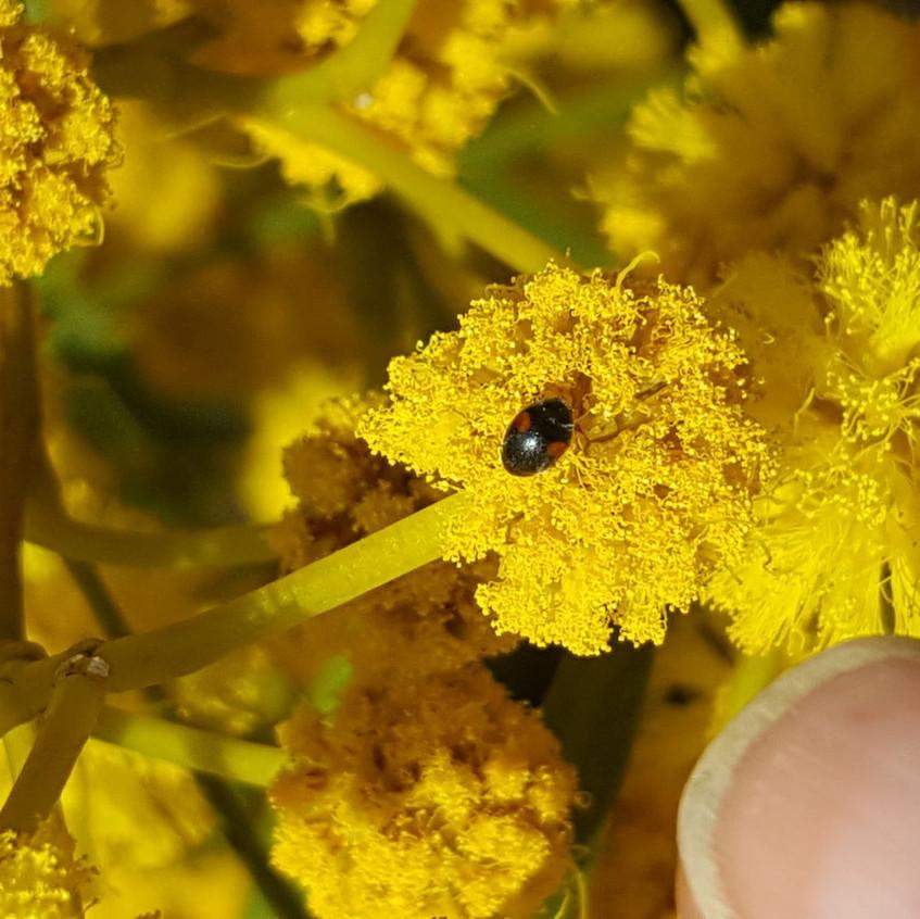 Ladybird on mimosa