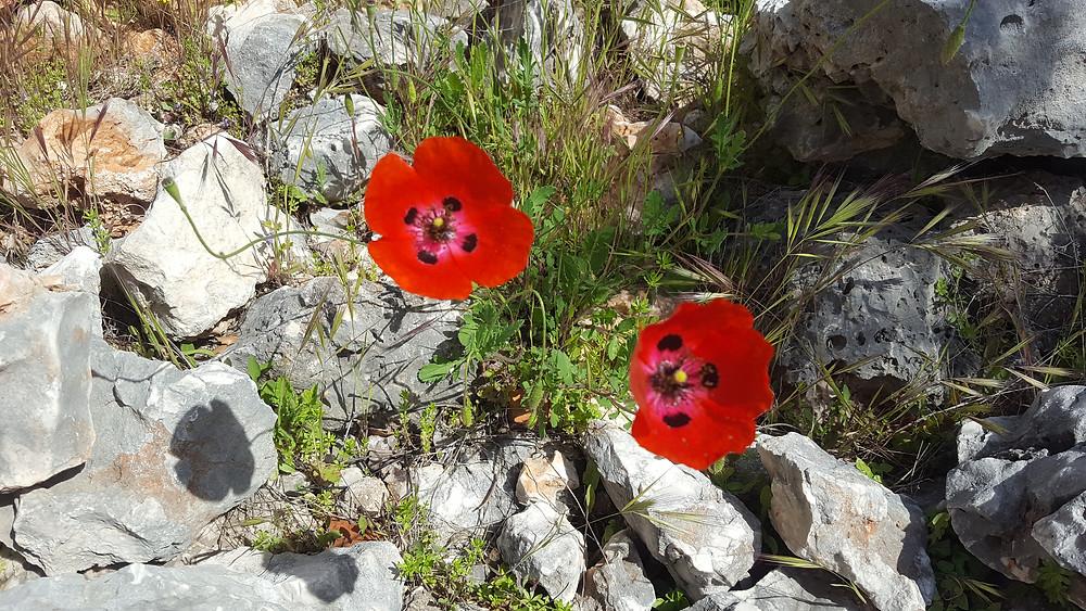 Beautiful poppies in Turkey