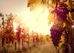 Loriginale-e-riuscita-sintesi-tra-uva-vino-e-bellezza-3
