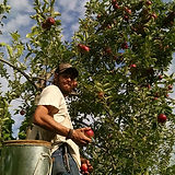 Neil picking apples.jpg