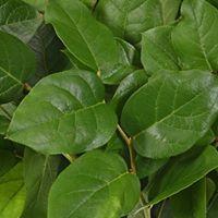 lemon leaves.jpg