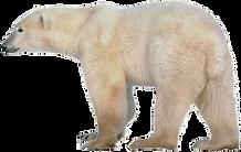 Polar-bear-clip-art-pictures-of-polar-be