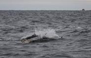 Bluefin tuna Canada.jpg