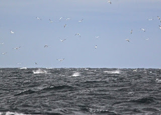 Diving gannets and busting bluefin..JPG