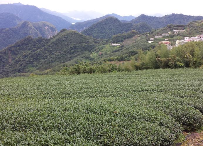 阿里山茶園.jpg
