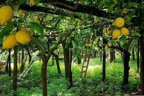 COOKING IN THE AMALFI LEMON GROVES
