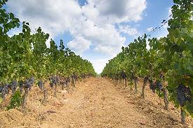 vineyard-1679017_960_720.jpg