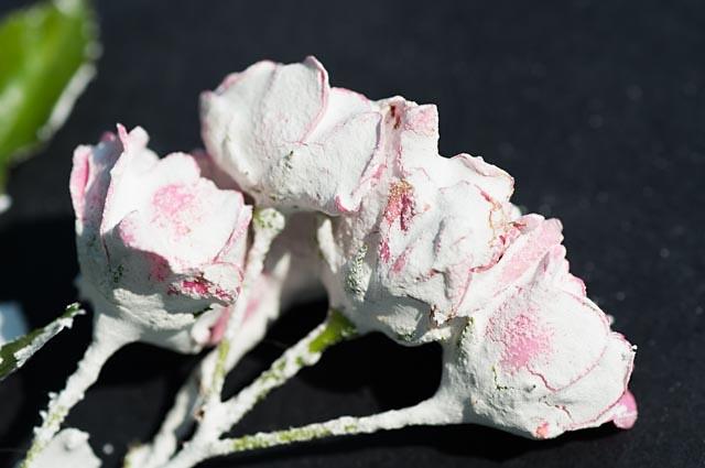 ROSA Pink Meillandina