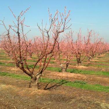 Peach Bloom