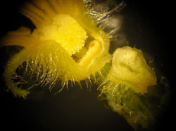 Cucumber Flower with Nectar