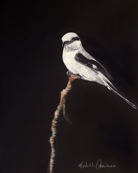 Northern Shrike (Butcherbird)