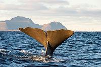 sperm whale midnight.jpg