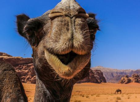 駱駝在微笑