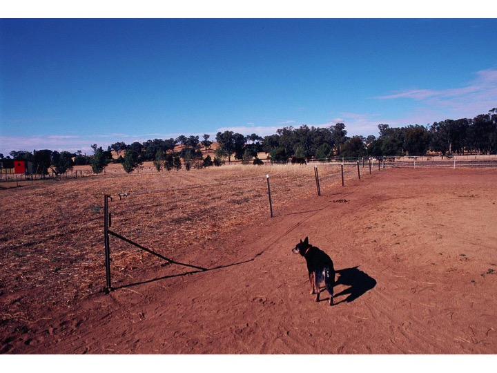 Cattle Dog and Blue sky