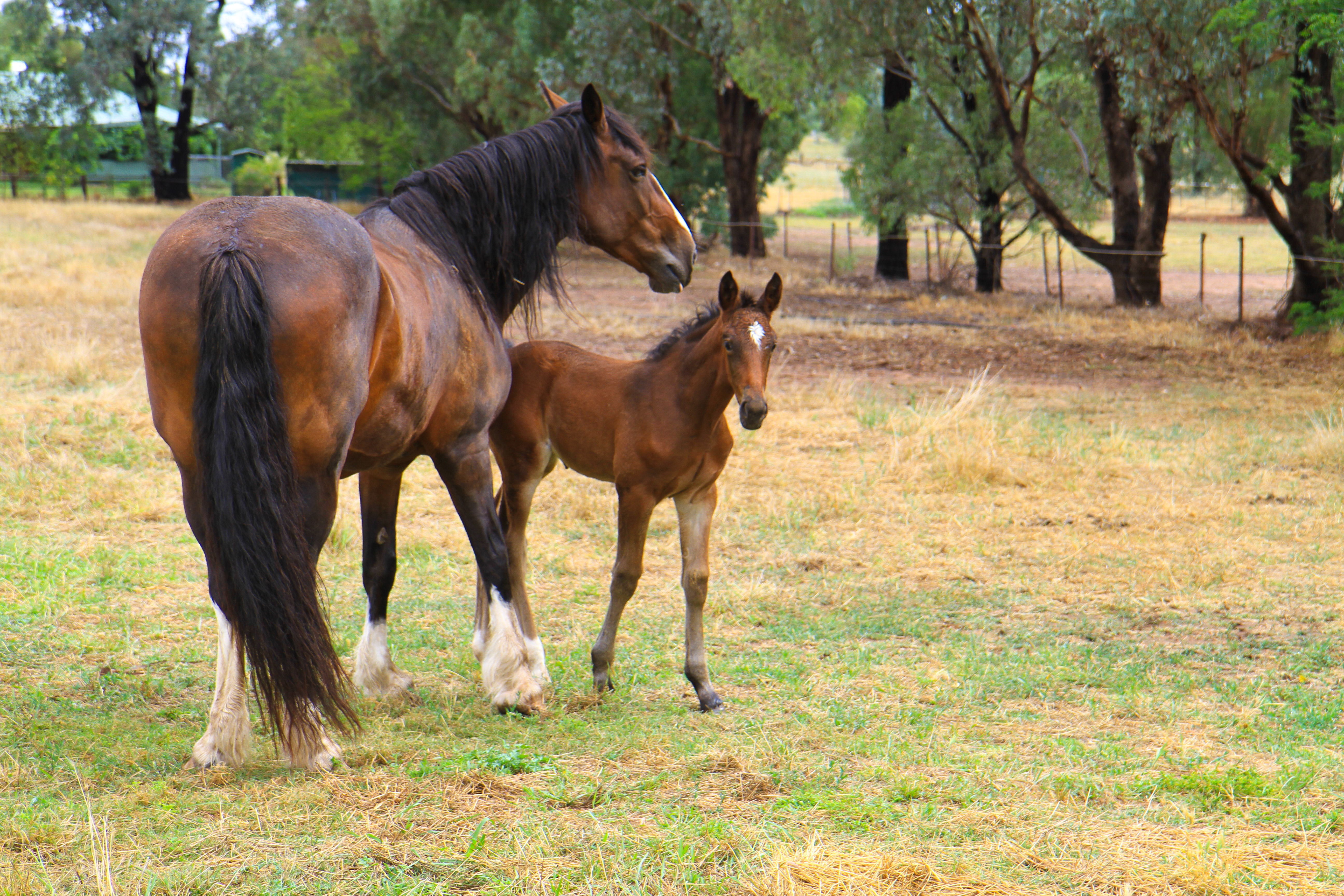 clydesdale-and-foal_23895488011_o