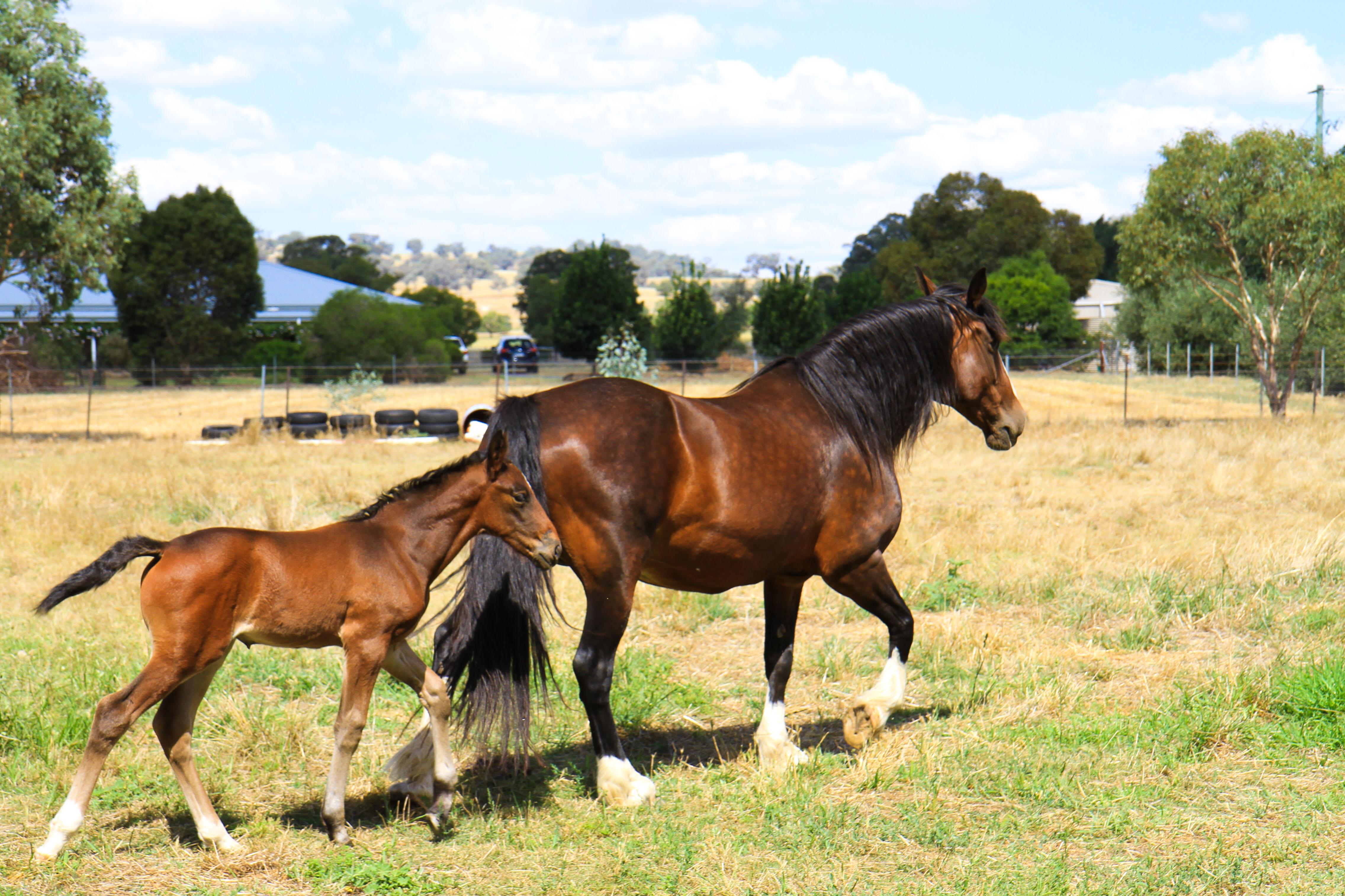 horses-cowra-nsw_23644100310_o