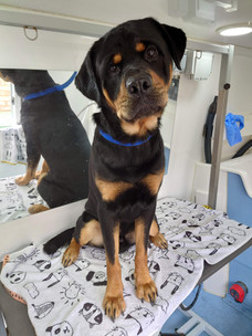 Opi the Rottweiler
