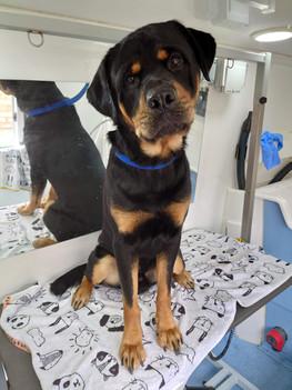 Opi the Rottweiler