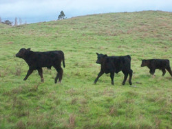 Angus calves follow the leader