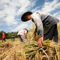 imb-photos-thailand-harvest-6 (1).jpg