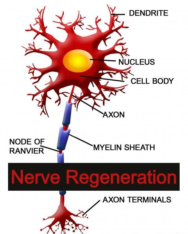 Nerve Regeneration